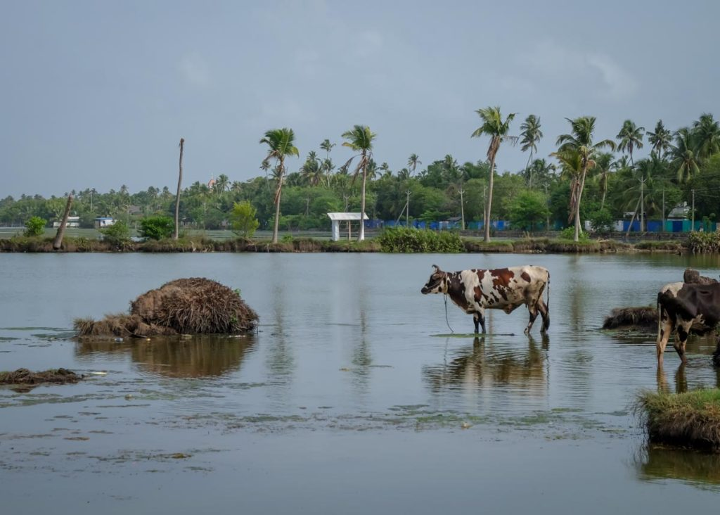 cow grazing in the kochi backwaters during a bicycle tour
