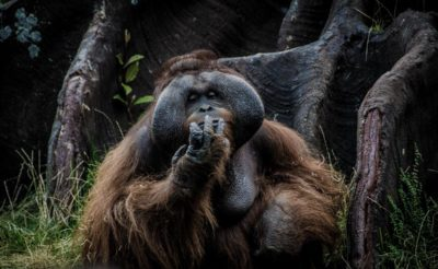 backpacking_borneo_orangutan