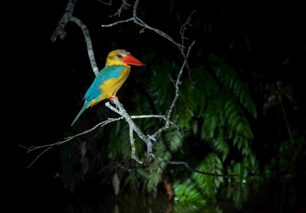 Danum valley night walk sleeping kingfisher
