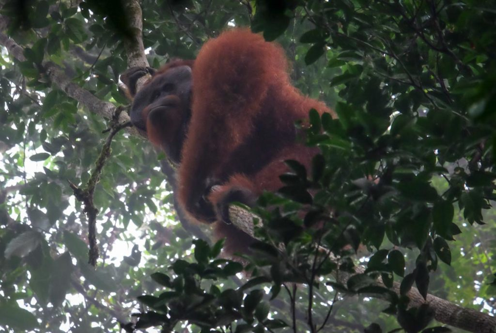 danum_valley_field_centre_wild_orangutan