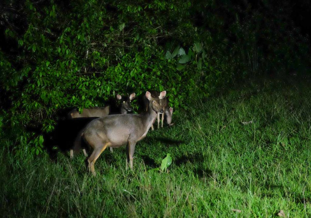 danum_valley_field_centre_wild_deer