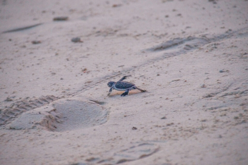 Baby turtle kicking its first step into the world of Sabah's Selingaan island